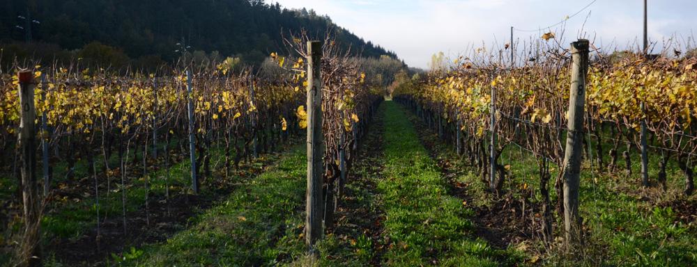 カステルデルピアーノの葡萄畑