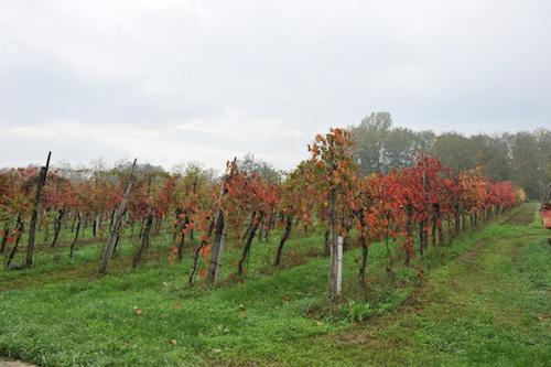 有機農法にこだわったFattoria degli Orsi の葡萄畑