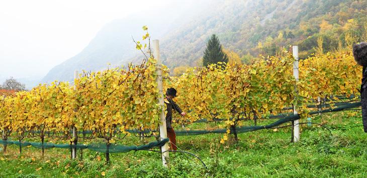 氷河渓谷の谷間に作られているシュタッハルブルグの葡萄畑